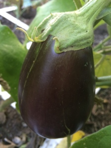 A Black Beauty eggplant from one of our square foot gardens